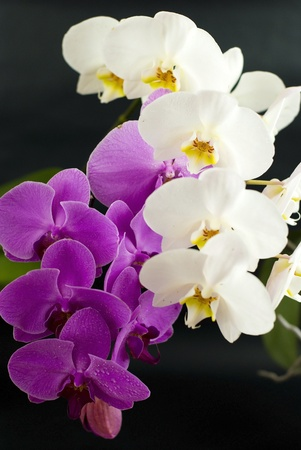 Purple with white orchid isolated on black background