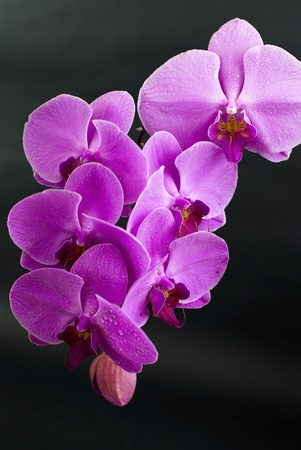 Beautiful purple orchid flower isolated on black  photo