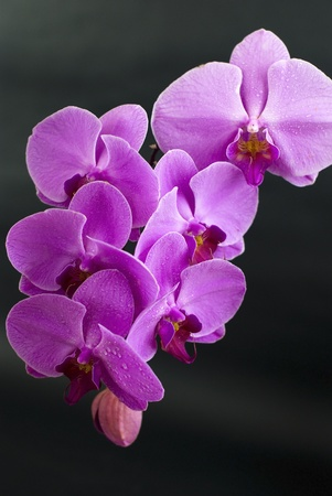 Beautiful purple orchid flower isolated on black  Stock Photo