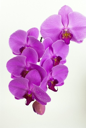 Purple beautiful orchid isolated on white background