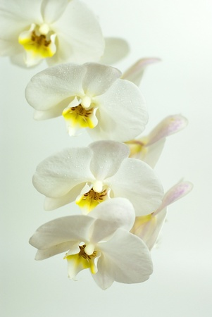 White orchid on white background  photo