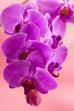 Purple orchid isolated on pink background
