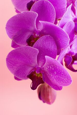 Purple orchid isolated on pink background photo
