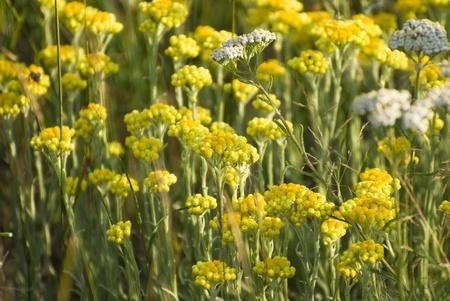 helichrysum arenarium immortelle background