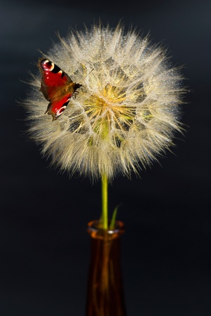 beautiful dandelion with butterfly on the black background photo