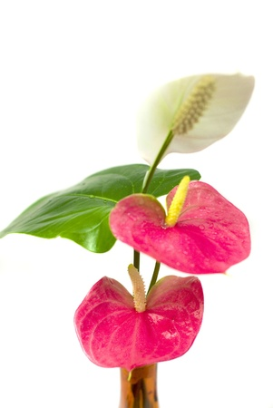 anthurium flower on the white background