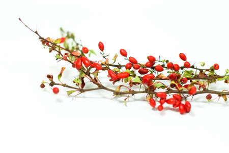 barberry: fresh red barberry on white background