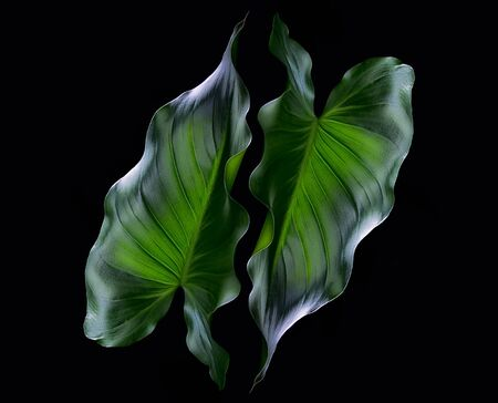 black textures: Fine Art Photo of a Green Leaves on black background