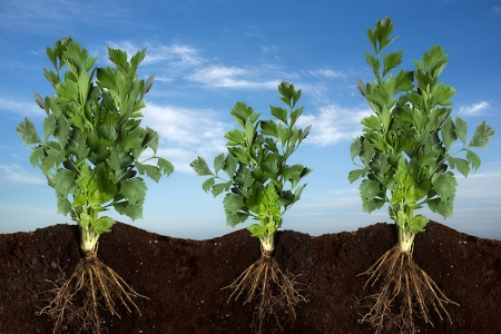 celery: side view of planting celery with sky panorama