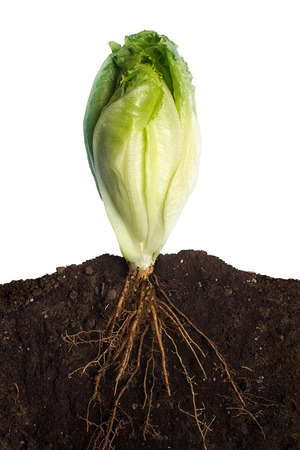 chlorophyll: Side view of a closeup of lettuce with the roots in the ground Stock Photo
