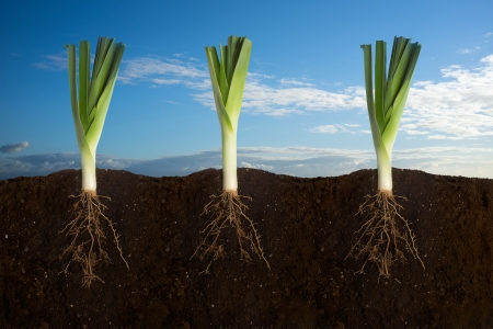 Side view of three leeks with the roots in the ground with sky panorama