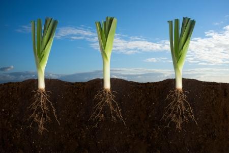 raíz de planta: Vista lateral de tres puerros con las raíces en la tierra con el cielo panorama Foto de archivo