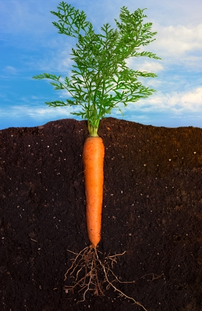 Side view closeup of carrot with the roots in the ground and sky panorama Stock Photo