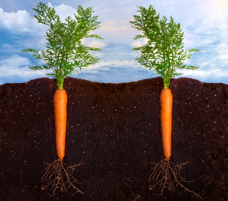plant roots: Side view of two carrots with the roots in the ground