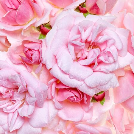 Full frame close-up of beautiful pink roses with dew drops on soft petals. Floral background. Natural fragrance and purity. Close up pink roses blooming