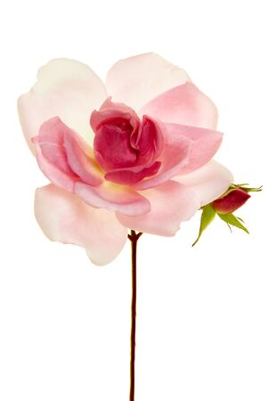 Single delicate long-stemmed pink rose with bud isolated on white symbolic of love and romance with copy space for a greeting to a sweetheart for Valentines, Mothers Day, wedding or special occasion