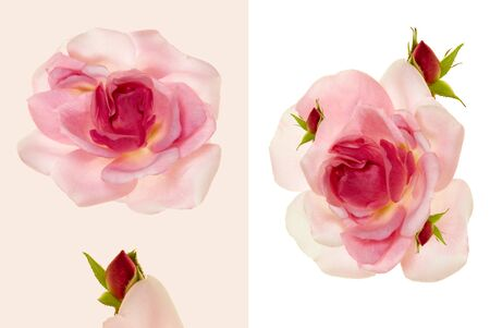Top view of blooming pink rose flower with red buds isolated on light-beige and white backgrounds