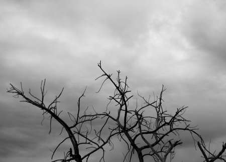 arboles secos: Árboles muertos antes de la tormenta Foto de archivo