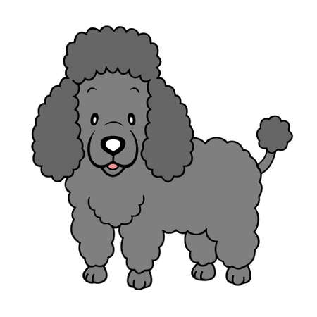 poodle: Black Poodle isolated