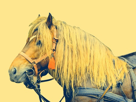 Horse during Juni parade. Riders celebrating of the day so call Juni mens. An millennial  romanian tradition in Brasov, Transylvania. Stock Photo