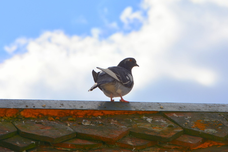 Pigeon of the roof Stok Fotoğraf