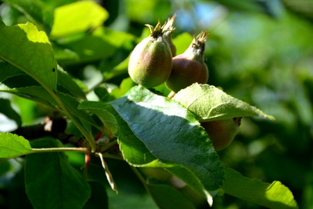 Green leaves. Apple tree in the orchard in spring Stock Photo