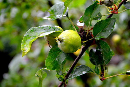 Apple in apple tree in orchard in early summer Stock Photo