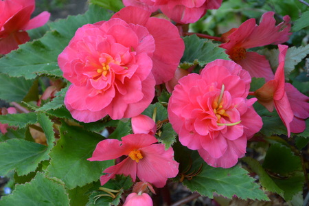 Begonia. Nice flowers in the garden in early summer