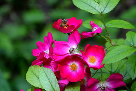Wild roses in a garden in early summer