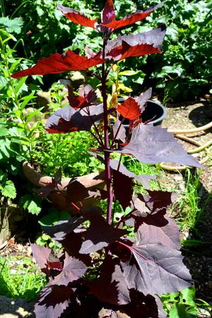 Vegetable in the vegetable garden Stock Photo