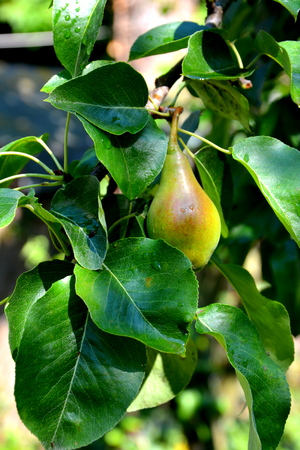 Pear in a pear tree in orchard, in early summer Stock Photo