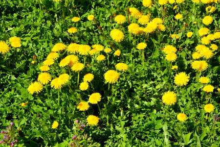 Yellow flowers. Green leave in the garden, in springtime. Green landscape
