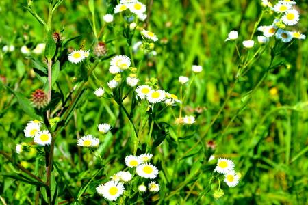 Wild flower in Apuseni Mountains, Transylvania