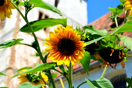 Sunflower & Fortified medieval saxon church in the village Cincu, Grossschenk, Transylvania,Romania The settlement was founded by the Saxon colonists in the middle of the 12th century. The fortification of the church took place between 1522-1526.