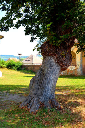 Lonely tree. Fortified medieval saxon evangelic church in the village Toarcla, Tartlau, Transylvania, Romania. The settlement was founded by the Saxon colonists in the middle of the 12th century