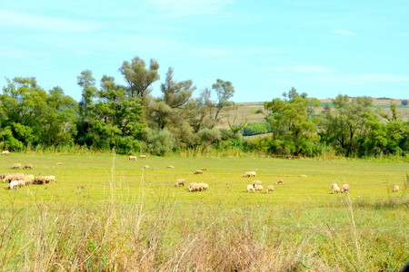 Sheep. Typical rural landscape in the plains of Transylvania, Romania. Green landscape in the midsummer, in a sunny day