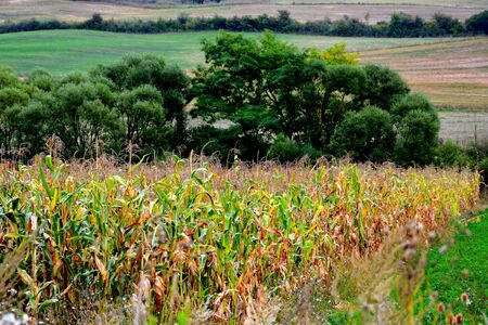 grain fields: Corn field. Typical rural landscape in the plains of Transylvania, Romania. Green landscape in the midsummer, in a sunny day