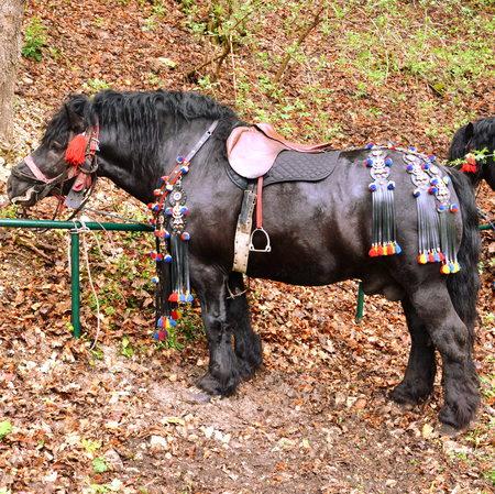 Horse resting during Brasov Juni parade. A millennial  romanian tradition in Brasov, Transylvania