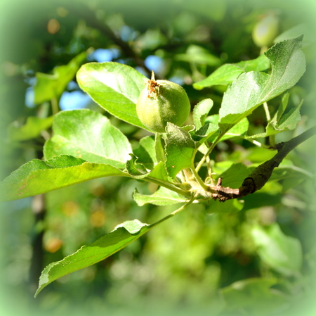 Small apples in an apple tree in orchard, in early summer