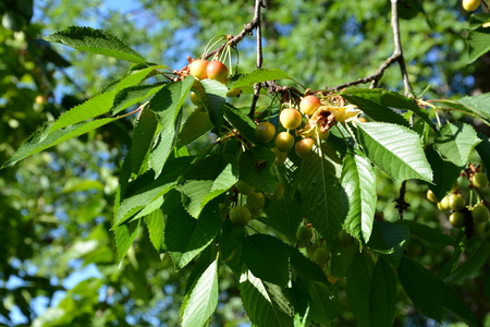 Small cherries in an cherry tree in orchard, in early summer