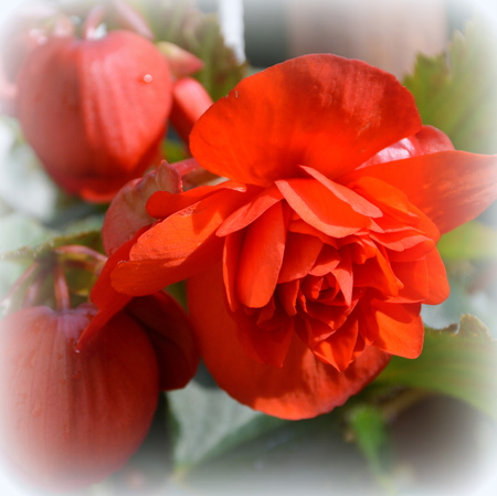 Begonia. Nice flowers in the garden in midsummer, in a sunny day. Green landscape. Daffodils, Narcissus, Dahlias, Daisies, Dandelions, Geranium
