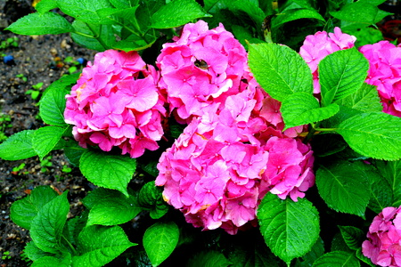 Hortensia. Nice flowers in the garden in midsummer, in a sunny day. Green landscape