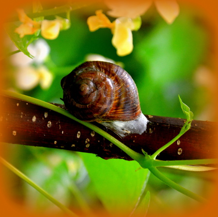 Snail in the garden in a rainy day, in midsummer