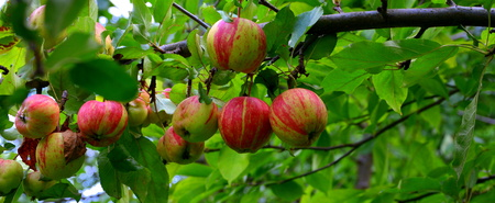 Fruit madness. Small apples in an apple tree in orchard, in early summer Standard-Bild