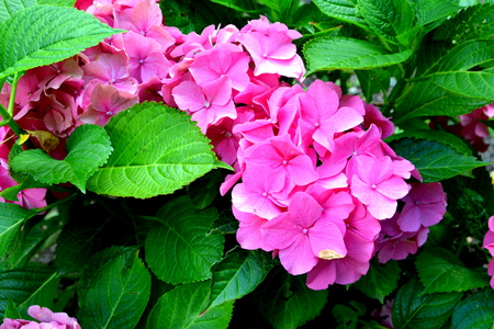 Hortensia. Nice flowers in the garden in midsummer, in a sunny day. Green landscape. Daffodils, Narcissus,