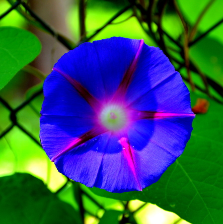 Morning Glory. Nice flowers in the garden in midsummer, in a sunny day. Green landscape. Daffodils, Narcissus,
