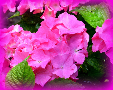 Hortensia.  Nice flowers in the garden in midsummer, in a sunny day. Green landscape. Daffodils, Narcissus, Dahlias, Daisies, Dandelions, Geranium, Iris, Lavender, Lilies, Orchids, Peonies, Poppies, Roses, Sunflowers