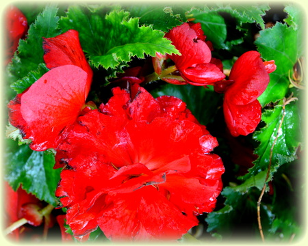 Begonia. Nice flowers in the garden in midsummer, in a sunny day. Green landscape. Daffodils, Narcissus, Dahlias, Daisies, Dandelions, Geranium, Iris, Lavender, Lilies, Orchids, Peonies, Poppies, Roses, Sunflowers