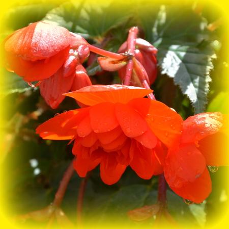 Begonia. Nice flowers in the garden in midsummer, in a sunny day. Green landscape Reklamní fotografie