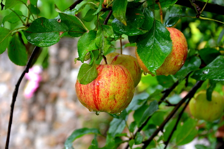 Fruit madness. Small apples in an apple tree in orchard, in early summer Stock fotó
